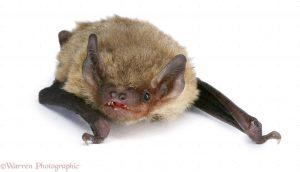 Pipistrelle Bat (Pipistrellus pipistrellus)