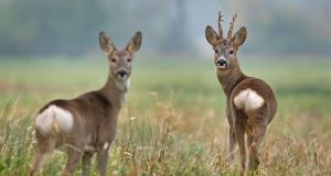 Roe deer with their white tails.