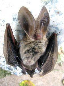 Brown Long-Eared Bat - plecotus auritus