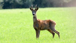 Roe Deer, Wikimedia Commons.