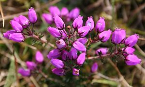 Bell Heather, Wikimedia Commons