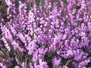 Ling heather, copyright Anne Burgess