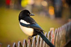 Magpie on a fence in London, Wikimedia Commons