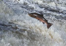 Salmon leaping in its journey upstream.