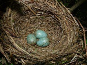 Blackbird's nest, NottsExMiner on Flikr