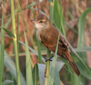 Reed Warbler, Wikimedia Commons