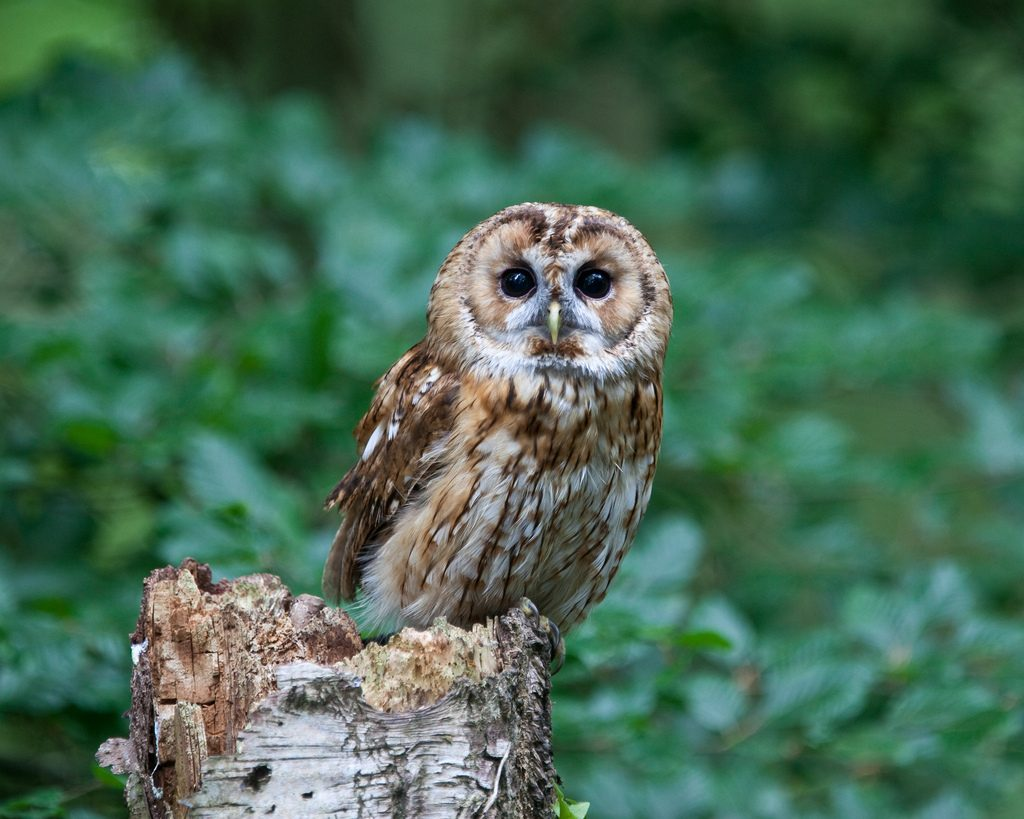 Tawny owl, photo by Nick Jewell, Flikr, 2010, creative commons license