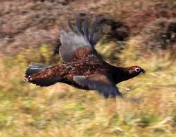 Red grouse in flight